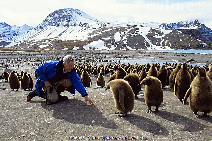 Sir David Attenborough with King Penguin chicks. St Andrews Bay, South Georgia. On location for Life in the Freezer 1992, CHICKS,LANDSCAPES,NHU,PRESENTER,SOUTH AMERICA, Ben Osborne