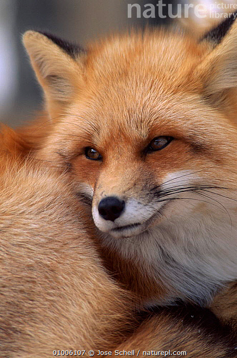 N. American red fox close up, Canada, CUTE,CANADA,JS,CAPTIVE,CARNIVORES,FACES,BROWN,MAMMALS,VERTICAL,NORTH AMERICA,DOGS,CANIDS, Jose Schell