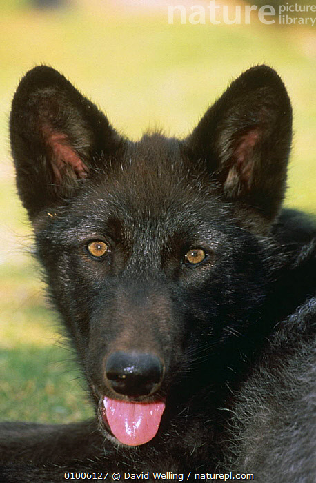 Grey wolf {Canis lupus} young (3 months) portrait captive, USA  ,  CANIDS,CARNIVORES,FACES,HEADS,IMMATURE,JUVENILE,MAMMALS,NORTH AMERICA,PORTRAITS,THREE,USA,VERTEBRATES,VERTICAL,WOLVES,Dogs  ,  David Welling
