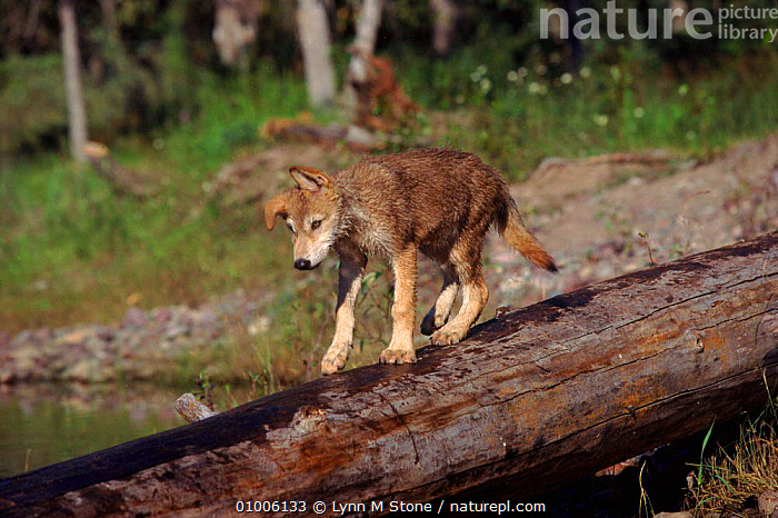 Grey Wolf cub walking on log (Canis lupus) USA  ,  CAPTIVE,CARNIVORES,JUVENILE,MAMMALS,NORTH AMERICA,USA,WOLVES,DOGS,CANIDS  ,  Lynn M Stone