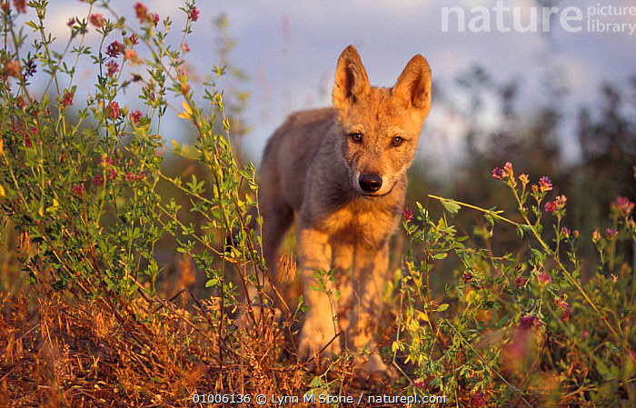 Grey Wolf cub walking. Captive. (Canis lupus) USA, WOLVES,WALKING,SUNSET,MAMMALS,JUVENILE,CUTE,BABIES,DOGS,CANIDS, Lynn M Stone