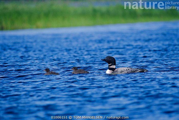 Great Northern Diver with chicks (Gavia immer) Grand Lake Sebois, Maine USA  ,  BABIES,BIRDS,DIVERS,FAMILIES,LAKES,SEABIRDS,SUMMER,WATERFOWL,WETLANDS  ,  TOM MANGELSEN