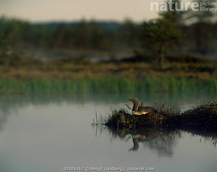 Red throated diver / loon on nest (Gavia stellata) Sweden, BIRDS,DIVERS,EUROPE,GREBES,LOONS,SUMMER,SUNRISE,SWEDEN,VERTEBRATES,WATERFOWL,Scandinavia, Bengt Lundberg