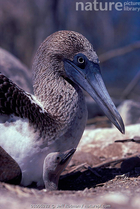 Blue footed booby bird at nest with young chick, Galapagos Islands, BIRDS,CHICK,D20BF,FAMILIES,GALAPAGOS,JR,NESTS,SEABIRDS,VERTICAL,YOUNG, Jeff Rotman