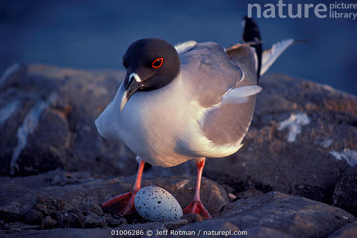 Swallow tailed gull with egg. Galapagos Is., BIRDS,D20NE,EGG,EGGS,GALAPAGOS,JR,NESTING,SEABIRDS,SEAGULLS,GULLS, Jeff Rotman