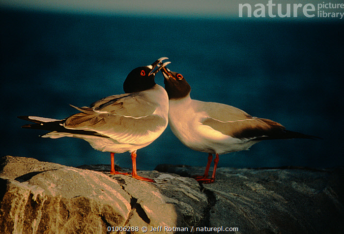Swallow tailed gulls (Creagrus furcatus) courtship behaviour, Galapagos, BEHAVIOUR,BIRDS,COURTSHIP,GALAPAGOS,GULLS,MALE FEMALE PAIR,MATING BEHAVIOUR,SEABIRDS,SOUTH AMERICA,VERTEBRATES, Jeff Rotman