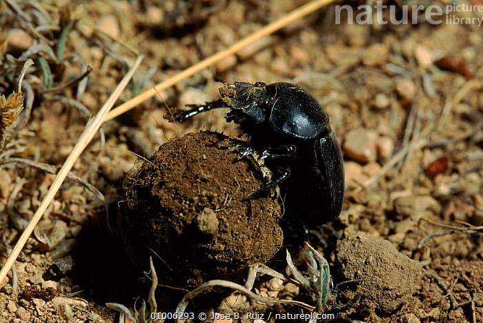 Dung beetle rolling ball of dung, Spain - lays egg in ball, MAKING,INTERESTING,BALL,INSECTS,RR,SPAIN,EUROPE,INVERTEBRATES,COLEOPTERA, Jose B. Ruiz