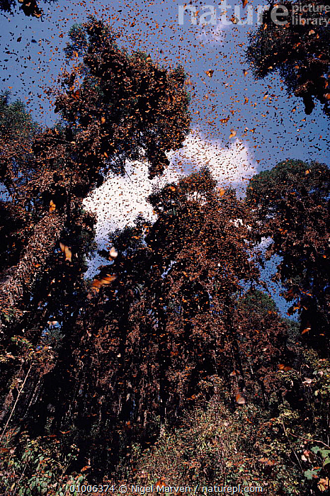 Monarch butterflies on migration, Mexico  ,  MEXICO,NM,VERTICAL,INSECTS,MIGRATION,INVERTEBRATES,LEPIDOPTERA  ,  NIGEL MARVEN