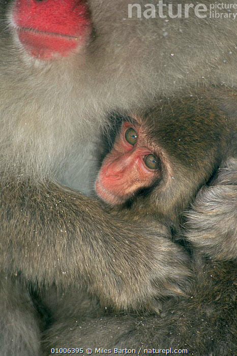 Close up of baby Japanese macaque held close to mother. Japan  ,  BABIES,BABY,CUTE,FACES,JAPAN,MACAQUES,MAMMALS,MONKEYS,MOTHER,PRIMATES,SNOW,VERTEBRATES,WINTER,Asia  ,  Miles Barton