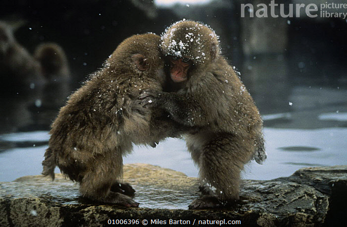 Two 9-month Japanese Macaques {Macaca fuscata} playing by hot pool, Shiga Heights, Honshu, Japan., ASIA,BABIES,BEHAVIOUR,CUTE,GEOTHERMAL,JAPAN,JUVENILE,MACAQUES,MAMMALS,MONKEYS,play,PRIMATES,VERTEBRATES,WINTER,Geology,Communication, Miles Barton