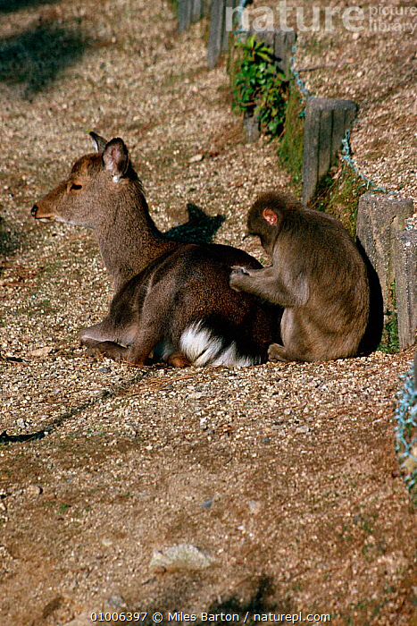 Japanese macaque {Macaca fuscata} grooming Sika deer searching for ticks. Miyajima Is, Hiroshima, Japan, ARTIODACTYLA,BEHAVIOUR,INTERESTING,JAPAN,MACAQUES,MAMMALS,MIXED SPECIES,MONKEYS,PRIMATES,VERTEBRATES,VERTICAL,Asia, Miles Barton