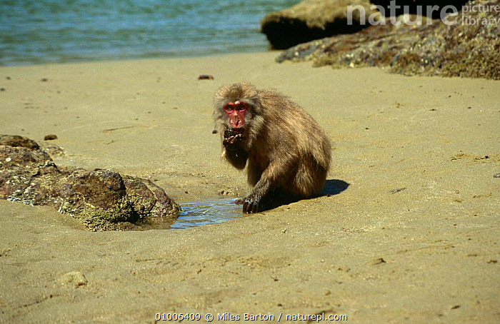 Male Japanese macaque {Macaca fuscata} feeding on Limpet that he has washed in tidal pool. Koshima Is, Japan, sequence 2/2  ,  BEACHES,BEHAVIOUR,COASTS,INTERESTING,JAPAN,MACAQUES,MALES,MAMMALS,MOLLUSCS,MONKEYS,PRIMATES,ROCKPOOL,VERTEBRATES,Asia,Invertebrates  ,  Miles Barton