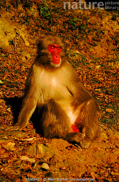 Male Japanese macaque showing red breeding colouration, Japan  ,  COLOURATION,NBSK253W,A,MONKEY,FOR,ALL,SEASONS,JAPAN,PORTRAITS,MAMMALS,MB,BREEDING,DISPLAY,MALE,PRIMATES,RED,VERTICAL,MATING BEHAVIOUR,ASIA,REPRODUCTION,COMMUNICATION,MONKEYS  ,  Miles Barton