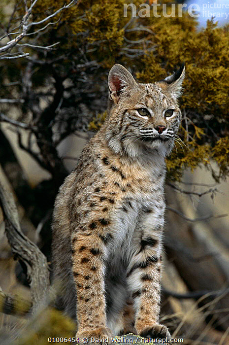 Bobcat (Felis rufus) captive, USA, CARNIVORES, CATS, MAMMALS, north america, PORTRAITS, USA, VERTEBRATES, VERTICAL, David Welling