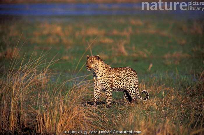 Leopard male. Okavango, Botswana (Panthera pardus), CARNIVORES,CATS,MALE,MALES,MAMMALS,SOUTHERN AFRICA,LEOPARDS,BIG CATS, Pete Oxford