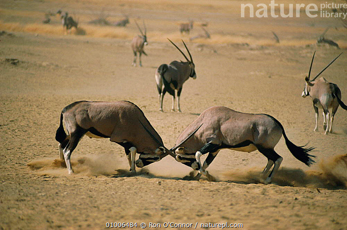 Gemsbok males territory fight (Oryx gazella) South Africa Kalahari NP, ANTELOPES,ARTIODACTYLA,DOMINANCE,FIGHTING,MAMMALS,SOUTHERN AFRICA,TERRITORIAL,Aggression,Concepts ,Kgalagadi,Transfrontier, Ron O'Connor