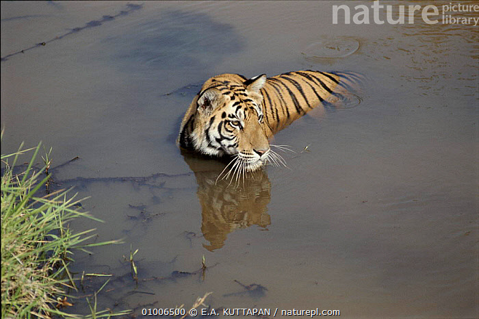 Tiger cooling in river, Bandhavgarh National Park, Central India  ,  ASIA,BANDHAVGARH,BIG CATS,ENDANGERED,HORIZONTAL,INDIA,INDIAN SUBCONTINENT,KU,MAMMALS,NATIONAL PARK,NP,RESERVE,RIVERS,THERMOREGULATION,TIGERS,WATER  ,  E.A. KUTTAPAN