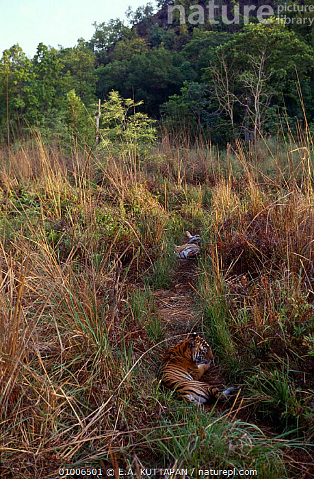 Two Tigers (Panthera tigris) resting on track in Bandhavgarh NP, India  ,  ASIA,BIG CATS,CARNIVORES,CATS,ENDANGERED,INDIA,MAMMALS,RESERVE,TIGER,TIGERS,VERTICAL  ,  E.A. KUTTAPAN