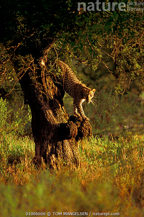Leopard in tree (Panthera pardus) Serengeti, Tanzania, MAMMALS,AFRICA,EAST AFRICA,CATS,LEOPARDS,BIG CATS,,Serengeti National Park, UNESCO World Heritage Site,, TOM MANGELSEN
