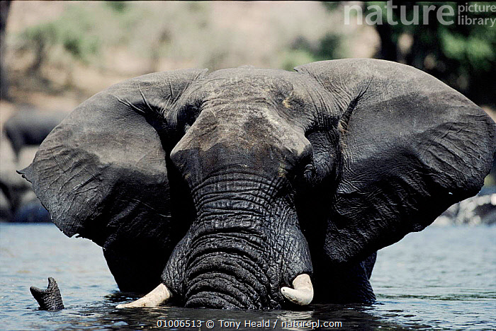 African Elephant in river, Chobe, Botswana  ,  WATER,PORTRAITS,,SOUTHERN AFRICA,TH,FRESHWATER,MAMMALS,TRUNK,TUSKS ,RIVERS,ELEPHANTS  ,  Tony Heald