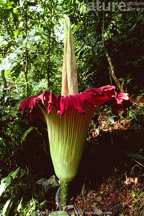 Titan arum in flower (Amorphophallus titanum) Sumatra, Indonesia. This species has the largest unbranched flower inflorescence which smells strongly of rotting carrion., ARACEAE,ARUM,FLOWERING,FLOWERS,INDONESIA,MONOCOTYLEDONS,PLANTS,SIZE,SOUTH EAST ASIA,SUMATRA,TROPICAL,TROPICAL RAINFOREST,VERTICAL,Asia, Neil Lucas