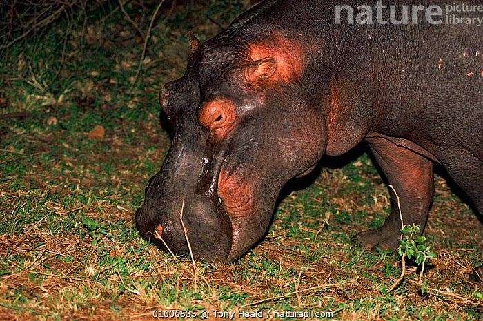 Hippopotamus (Hippopotamus amphibius) feeding at night. Kruger NP South Africa  ,  HIPPO,NOCTURNAL,VELDT,FEEDING,SOUTH,AFRICA,GRAZING,HORIZONTAL,MAMMALS,NP,SOUTHERN AFRICA,TH,KRUGER,NIGHT,GRASSLAND,NATIONAL PARK  ,  Tony Heald