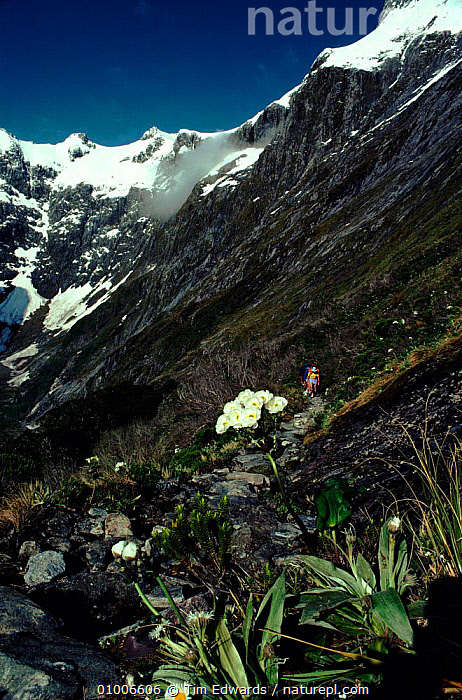 View near Mackinnon Pass, Clemisia daisies in foreground (part of Milford Track walk). Fiordland NP, South Island, New Zealand, MILFORD,PLANTS,VERTICAL,WALK,CLEMISIA,MACKINNON,TRACK,DAISIES,FIORDLAND,MOUNTAINS,FLOWERS,PASS,SNOW,ISLAND,NP,NATIONAL PARK, Tim Edwards