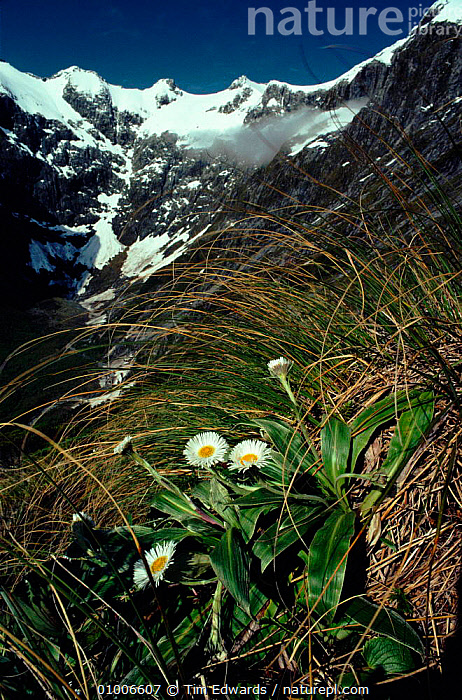View near Mackinnon Pass, Clemisia diasies in foreground (part of Mildford Track walk). Fiordland NP, South Island, New Zealand  ,  VERTICAL,MACKINNON,PASS,CLEMISIA,DAISIES,FLOWERS,ISLAND,MOUNTAINS,SNOW,TRACK,MILFORD,NP,FIORDLAND,PLANTS,WALK,NATIONAL PARK  ,  Tim Edwards