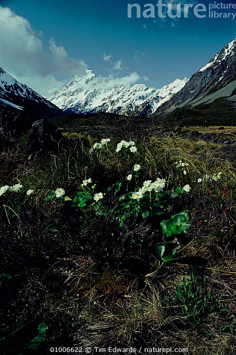 Great mountain buttercup (Mount Cook Lily) (Ranunculus lyallii). Mount Cook NP, New Zealand, COOK,DICOTYLEDONS,FLOWERS,LANDSCAPES,LILY,MOUNT,NATIONAL PARK,NEW,NEW ZEALAND,NP,PLANTS,VERTICAL,ZEALAND, Tim Edwards
