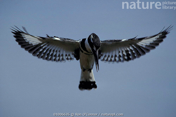 Pied kingfisher {Ceryle rudis} hovering in flight, Kruger NP, South Africa, FLYING,KINGFISHERS,MALES,SOUTHERN AFRICA,BIRDS, Ron O'Connor