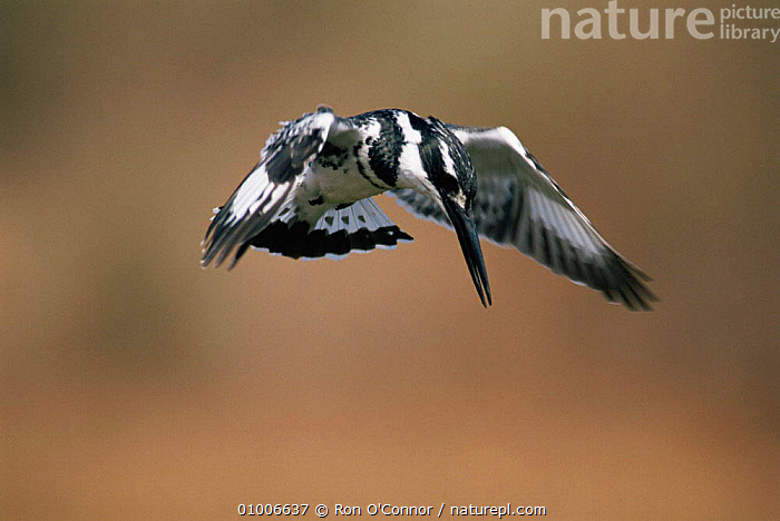 Pied kingfisher {Ceryle rudis} hovering whilst fishing, Kruger NP, South Africa., ACTION,BIRDS,FLYING,KINGFISHERS,MALES,MOVEMENT,NP,SOUTHERN AFRICA,VERTEBRATES,National Park, Ron O'Connor
