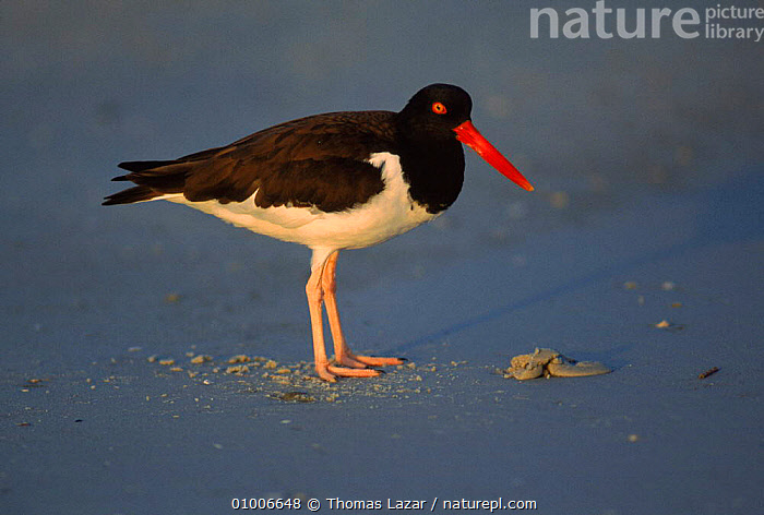 American oystercatcher standing by feeding hole, USA  ,  BIRDS, COASTS, FEEDING, HORIZONTAL, OYSTERCATCHERS, STANDING, USA, VERTEBRATES, WADERS,North America  ,  Thomas Lazar