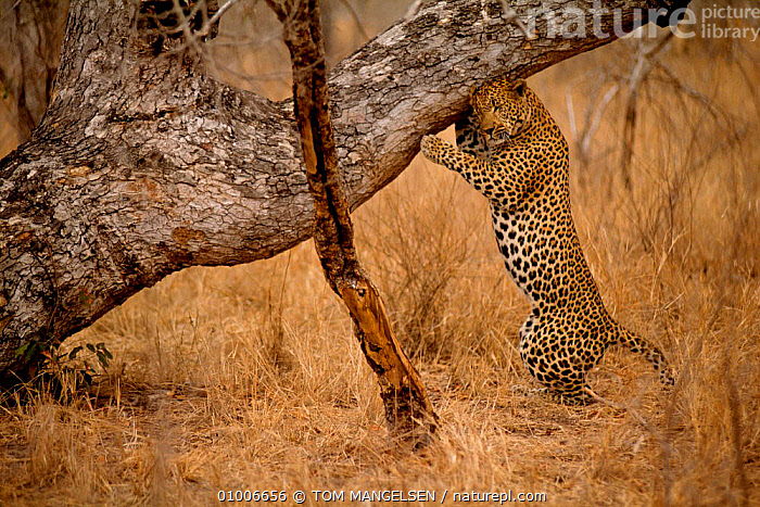 Leopard sharpening claws, Mala Mala South Africa (Panthera pardus), CARNIVORES,TREES,VELDT,BRANCHES,CATS,MAMMALS,SOUTHERN AFRICA,STANDING,GRASSLAND,PLANTS,LEOPARDS,BIG CATS, TOM MANGELSEN