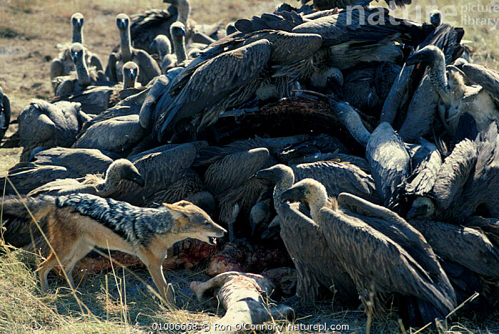Black backed jackal & vultures at kill. Etosha NP, Namibia, BIRDS,DOGS,FEEDING,KILL,MAMMALS,MIXED SPECIES,MIXED SPECIES,SCAVENGING,SOUTHERN AFRICA,CANIDS, Ron O'Connor