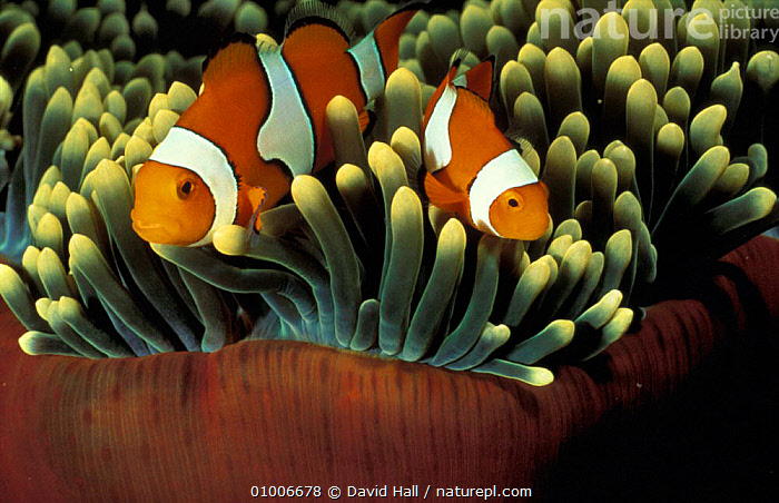 Clown anemonefish (Amphiprion percula) in anemone, Papua New Guinea  ,  UNDERWATER,MARINE,TROPICAL,MALE FEMALE PAIR,FISH,TWO,PAPUA NEW GUINEA,SYMBIOSIS,Concepts,Partnership, Partnership  ,  David Hall