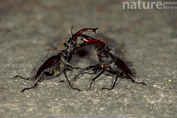 Stag beetles fighting, Germany  ,  GERMANY,HK,INSECTS,MALES,FIGHTING,HORIZONTAL,EUROPE,AGGRESSION,INVERTEBRATES,COLEOPTERA,Concepts  ,  Hans Christoph Kappel