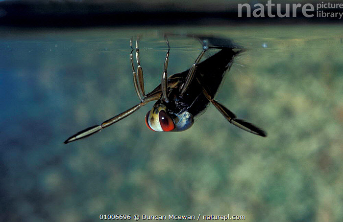 Backswimmer (Notonecta glauca) taking in air at water surface, Scotland, UK, BREATHING,BEHAVIOUR,INSECTS,UNDERWATER,FRESHWATER,AQUATIC,INVERTEBRATES,Europe,Hemiptera, Duncan Mcewan