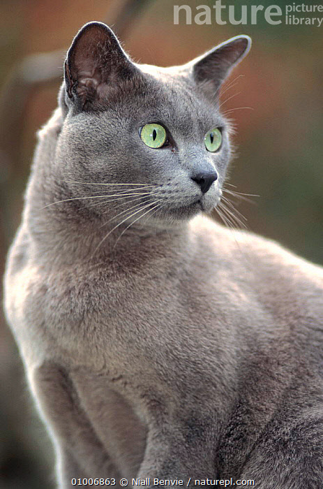 "Burmese (blue) cat ""Boris"" male, UK, BLUE,BREEDS,CARNIVORES,CATS,ENGLAND,EUROPE,MALES,MAMMALS,PETS,PORTRAITS,UK,VERTEBRATES,VERTICAL,United Kingdom,British, Niall Benvie"