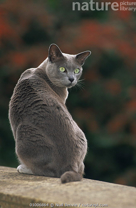 "Blue Burmese cat, male, ""Boris"", on wall, Bristol, England, CARNIVORES,CATS,ENGLAND,MALES,MAMMALS,PETS,PORTRAITS,VERTEBRATES,VERTICAL,Europe, Niall Benvie"