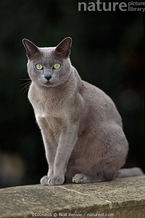 Burmese blue cat male, 'Boris'. England  ,  BLUE,BREEDS,CAT,ENGLAND,GREY,MAMMALS,PEDIGREE,PETS,PORTRAITS,UK,VERTICAL,EUROPE,UNITED KINGDOM,BRITISH  ,  Niall Benvie