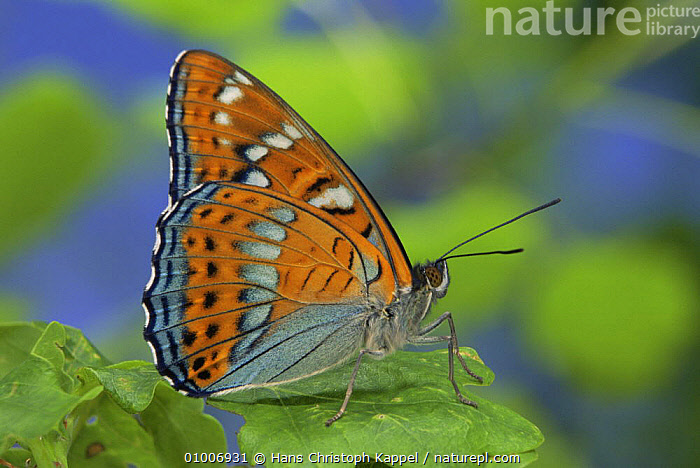 Poplar Admiral Butterfly (Limenitis populi) on leaf, captive, ARTHROPODS,BUTTERFLIES,INSECTS,INVERTEBRATES,LEPIDOPTERA,MALES,PORTRAITS,PROFILE, Hans Christoph Kappel