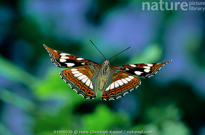 Poplar Admiral butterfly flying (Limenitis populi) captive, Europe.  ,  WINGS,FLIGHT,EUROPE,BUTTERFLIES,OUTSTANDING,LEPIDOPTERA,INSECTS,Invertebrates,Catalogue1  ,  Hans Christoph Kappel