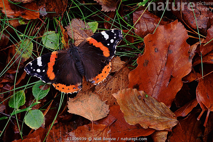 Red Admiral butterfly in beech wood, Scotland  ,  HORIZONTAL,AUTUMN,BEECH,EUROPE,INSECTS,NB,PORTRAITS,SCOTLAND,UK,UNITED KINGDOM,INVERTEBRATES,BRITISH  ,  Niall Benvie