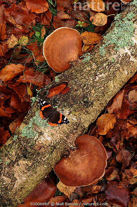 Red Admiral butterfly on branch with bracket fungi in beech wood, Scotland  ,  BEECH,LEAVES,NB,VERTICAL,INSECTS,ARTY SHOTS,SCOTLAND,WOODLANDS,FUNGI,AUTUMN,EUROPE,INVERTEBRATES  ,  Niall Benvie
