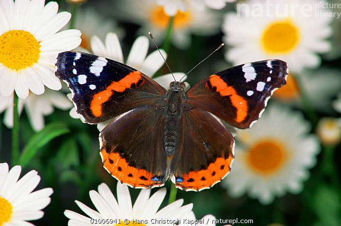 Red Admiral butterfly on daisy (Vanessa atalanta) Germany, ARTHROPODS,BUTTERFLIES,EUROPE,INSECTS,INVERTEBRATES,LEPIDOPTERA,PORTRAITS,RED,WINGS, Hans Christoph Kappel