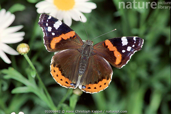 Red Admiral on daisy. Germany, BUTTERFLIES,DAISY,EUROPE,HK,HORIZONTAL,INSECTS,INVERTEBRATES,PORTRAITS,WINGS, Hans Christoph Kappel