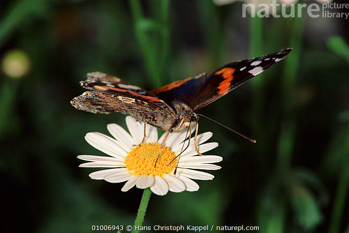 Red Admiral butterfly on daisy  ,  DAISY,FLOWERS,HORIZONTAL,INSECTS,FEEDING,GERMANY,HK,PORTRAITS,EUROPE,INVERTEBRATES  ,  Hans Christoph Kappel