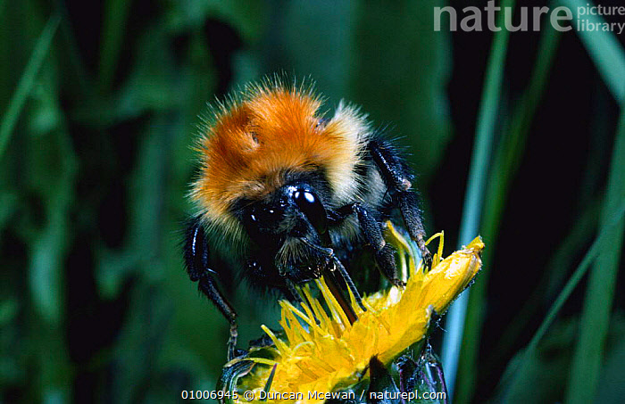 Bumblebee foraging on Dandelion (Bombus sp) Scotland, FEEDING,INSECTS,PLANTS,FLOWERS,HYMENOPTERA,BEES,Invertebrates, Duncan Mcewan