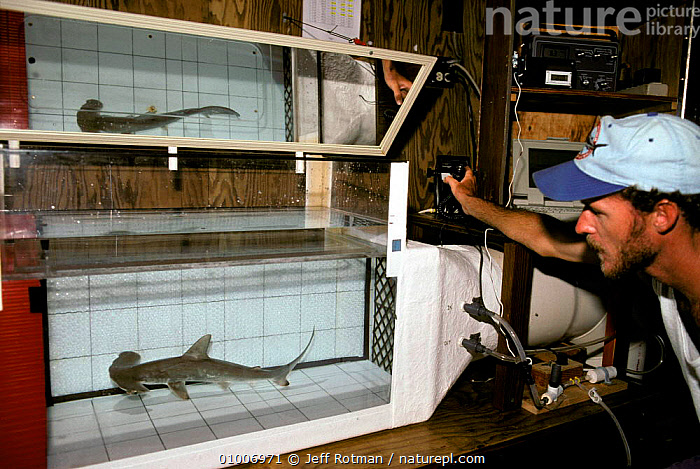 Measuring metabolism of juvenile hammerhead shark. Hawaii, MARINE,SHARKS,USA,INTERESTING,RESEARCH,FISH,North America, Fish, Jeff Rotman