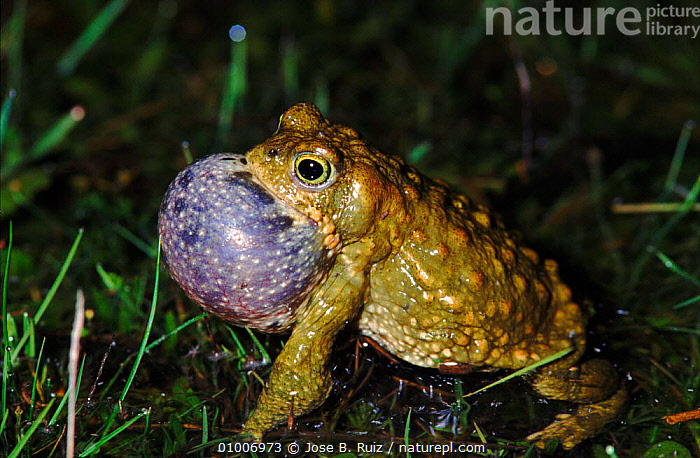 Natterjack toad singing at night, Spain  ,  RR,HORIZONTAL,AMPHIBIANS,DISPLAY,MALES,MATING BEHAVIOUR,NIGHT,SINGING,VOCALISATION,EUROPE,SPAIN,REPRODUCTION,COMMUNICATION,ANURA,TOADS,Catalogue1  ,  Jose B. Ruiz